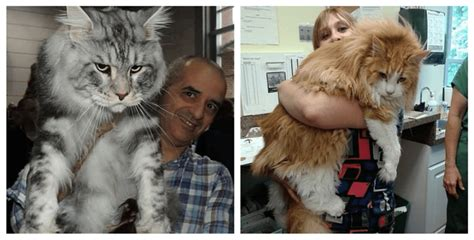 Meet The 15 Biggest Domestic Cats On Earth!