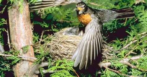 Difference Between Robin & Starling Eggs   eHow UK