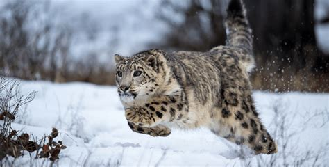 Good News! Snow Leopards Seen For The Very First Time In