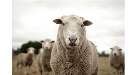 Stray sheep cause £250,000 damage in National Forest