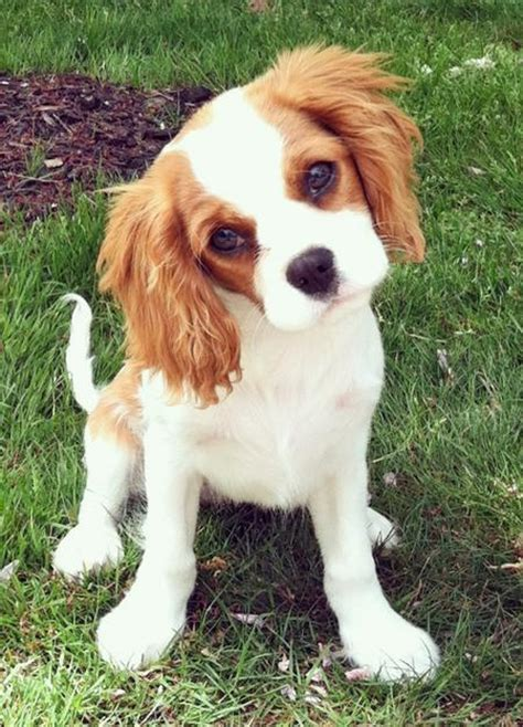 16 Things All Cavalier King Charles Spaniel Owners Must