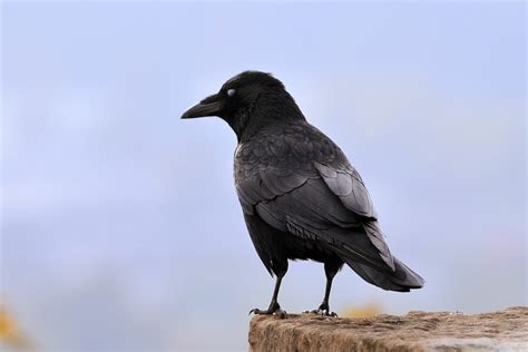 Crows | Corvids | Bird Family Overview - The RSPB