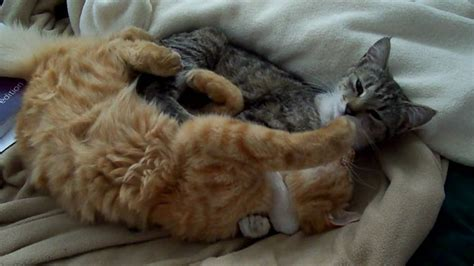 Cats licking each other to sleep (High Definition) - YouTube