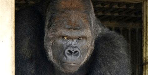 Handsome Gorilla Takes Internet By Storm   HolidogTimes