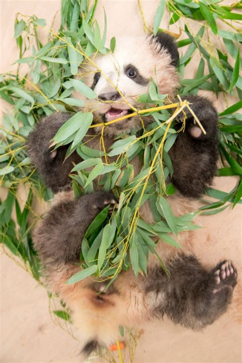 France's Giant Panda Cub Shows His Playful Side - ZooBorns