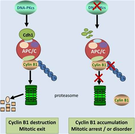 DNA-PKcs Negatively Regulates Cyclin B1 Protein Stability