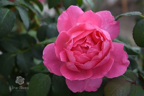 Finally, an easy-to-grow rose with a True rose flower