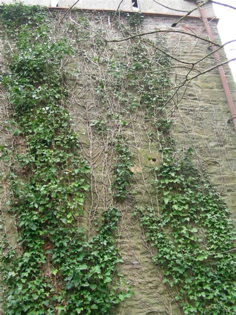 Ivy on Walls Research Project | Research Projects | Oxford